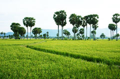 The path on green paddy field and palm trees Stock Photography