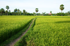 The path on green rice field and palm trees Royalty Free Stock Photo