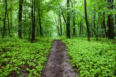 The path in a green summer forest Stock Images
