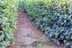 Path of green tea plantations Royalty Free Stock Photos