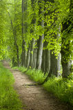 Path of green trees with a walking path. An alle of trees with a waking path going through and sunlight from the side royalty free stock images