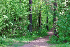 Path in green wild forest with pines and cones Royalty Free Stock Photos