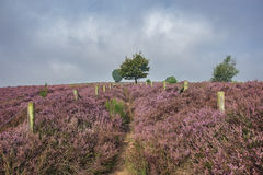 On the path between the heather. Autumn, foggy morning in the national park the Veluwe, Netherlands Royalty Free Stock Photo