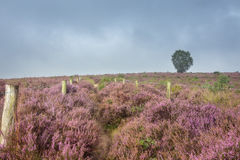 On the path between the heather. Autumn, foggy morning in the national park the Veluwe, Netherlands Stock Image