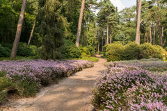 Path through heather in forest. Sand path through heathland area in a forest in Holland stock image
