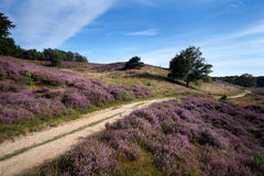 Path between heather hills. Path way between hills covered with blossoming heather royalty free stock image