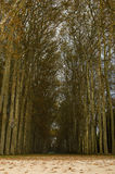 Path between high trees Royalty Free Stock Image