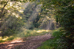 The Path Home. Sunbeam lit path in the forest stock image