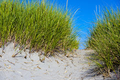 Path through juicy green grass on sand dunes coast Royalty Free Stock Photography