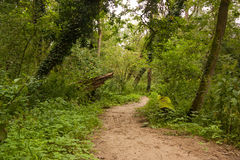 Path of the jungle. A loosely curved path through a German forest Royalty Free Stock Photo