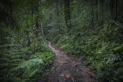 Path in the jungle. Sinharaja rainforest in Sri Lanka. Royalty Free Stock Photo