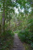 Path in Knysna Forest, South Africa Royalty Free Stock Image
