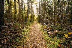Path, lane, way, pathway in wild autumn forest Royalty Free Stock Images