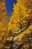 Path through larch wood in the fall. Mountain path through a golden larch wood in the fall Stock Photography