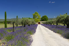 Path through lavender Royalty Free Stock Photo