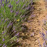 The path in the Lavender. July, Italy. Stock Image