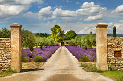 Path with lavender in Provence. Stock Photos