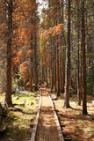 Path leading through a forest of dead pine trees Stock Photography