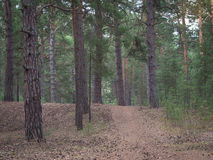 Path leading through the pine forest at the sunrise in spring Stock Photo
