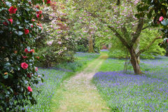 A path leads through the bluebells and rhododendrons and camellias Stock Image