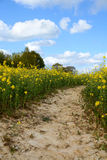 Path leads through a field of yellow oilseed rape Stock Photography