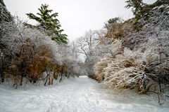 Path Leads Through Frost Laden Trees Royalty Free Stock Photography