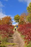A path through the autumn colored sumac finds several hikers. A path leads through a patch of red sumac autumn coloring of a maple forest is a walking path for Stock Images