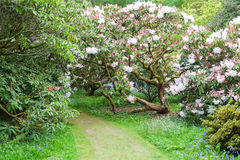 A path leads through the rhododendrons in an English country garden Stock Image