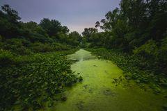 Path Through the Lily Pads. Green lily pads covering Stone Lake with an algae-dense path running through the lake at sunset on a cloudy summer day, LaPorte Royalty Free Stock Images