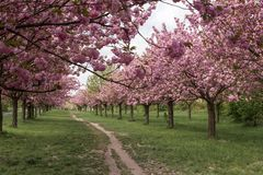 Path lined with Sakura trees in bloom - cherry blossoms walking. Path lined with Sakura trees in bloom - cherry blossoms, prunus serrulata, low-angle, walking stock photos