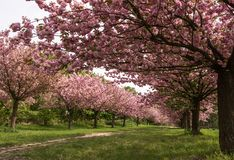 Path lined with Sakura trees in bloom - cherry blossoms walking path. Beautiful stock image