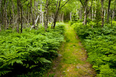 Path through lush forest with ferns Royalty Free Stock Image