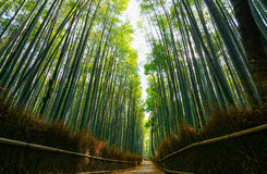 Path through the lush green forest of giant bamboo in Arashiyama in Kyoto, Japan Stock Photo