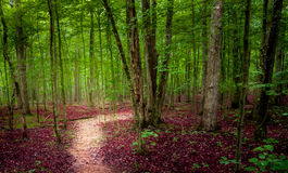 Path through lush green forest with red leaves Stock Image