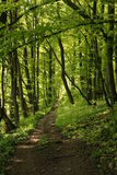 A Path through a lush green forrest. This is early spring where the leaves on the trees are still young, and therefore look a very lush green colour Stock Photos