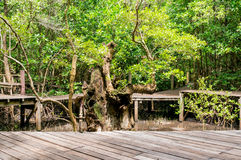 Path in Mangrove forest Stock Images
