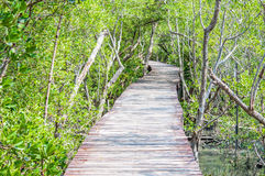 Path in mangrove forest Stock Photography