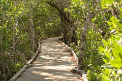 Path through the Mangroves - Horizontal. Wooden walkway through the mangrove forest at Pennekamp State Forest on Key Largo, Florida Stock Image
