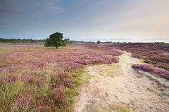 Path through meadows with flowering heather. In summer royalty free stock photography