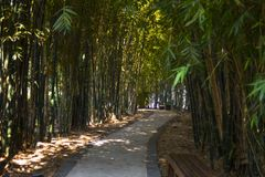 Path in the middle of bamboo. A nice walk in a bambooed ecofriendly path royalty free stock photography