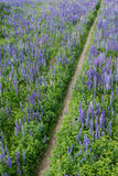 Path in the middle of a lupine field Royalty Free Stock Photography