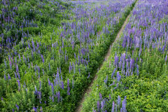 Path in the middle of a lupine field Stock Images