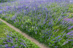 Path in the middle of a lupine field Stock Photo
