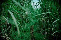 Sugar cane field in the morning royalty free stock photos