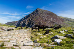 Path, mountains and black cow. Royalty Free Stock Photography
