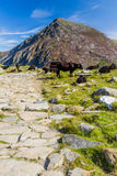 Path, mountains and black cow. Stone flagged path, with black cow, and mountain Carnedd Llewelyn in the background. Snowdonia, Gwynedd, Wales, United Kingdom Stock Photo