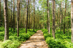 Path through a mystic pine forest Royalty Free Stock Photos
