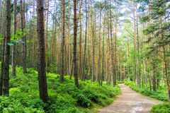 Path through a mystic pine forest Royalty Free Stock Photo