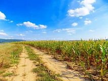 Path near corn field Royalty Free Stock Photo