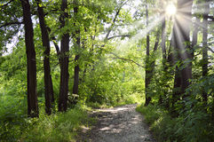 Path through oak avenue on sunny summer day Royalty Free Stock Photos